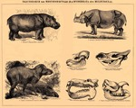 ...common hippopotamus (Hippopotamus amphibius), Indian rhinoceros (Rhinoceros unicornis), South Am