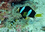 Clark's anemonefish, yellowtail clownfish (Amphiprion clarkii)