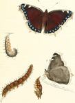 Camberwell beauty, mourning cloak (Nymphalis antiopa)