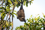Christmas Island flying fox (Pteropus melanotus natalis)