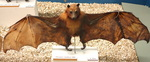 black-eared flying fox (Pteropus melanotus)