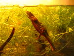 Japanese fire belly newt (Cynops pyrrhogaster)