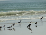 ...greater crested tern (Thalasseus bergii), gulls (Larus sp.), great cormorant (Phalacrocorax carb