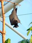 large flying fox (Pteropus vampyrus)