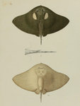 spiny butterfly ray (Gymnura altavela)