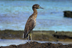 Galapagos yellow-crowned night heron (Nyctanassa violacea pauper)