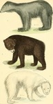 American black bear (Ursus americanus), grizzly bear (Ursus arctos horribilis), polar bear (Ursu...