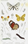 ...Apollo butterfly (Parnassius apollo), orange tip butterfly (Anthocharis cardamines), pale cloude