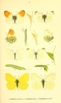 ...orange tip butterfly (Anthocharis cardamines), wood white (Leptidea sinapis), common brimstone (