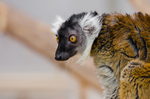 Sanford's brown lemur (Eulemur sanfordi)