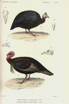 helmeted guineafowl (Numida meleagris), wild turkey (Meleagris gallopavo)