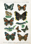 ...ady (Vanessa cardui), map butterfly (Araschnia levana), map butterfly (Araschnia levana f. prors