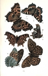 ...small tortoiseshell (Aglais urticae), comma butterfly (Polygonia c-album), silver-washed fritill