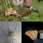 ...European common frog (Rana temporaria), grass snake (Natrix natrix), giant house spider (Eratige
