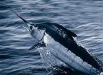 Atlantic blue marlin (Makaira nigricans)