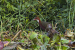 white-throated rail (Dryolimnas cuvieri)