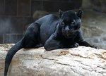 Black Panther - jaguar (Panthera onca)