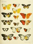 The butterflies of the Malay Peninsula: orange albatross (Appias nero) etc.