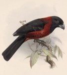 crimson-collared grosbeak (Rhodothraupis celaeno)