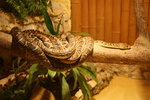 Cuban tree boa (Chilabothrus angulifer)