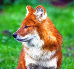 dhole, Asiatic wild dog (Cuon alpinus)