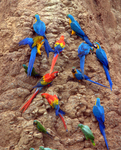...blue-and-yellow macaw (Ara ararauna), scarlet macaw (Ara macao), mealy amazon (Amazona farinosa)