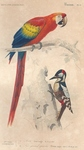 scarlet macaw (Ara macao), great spotted woodpecker (Dendrocopos major)
