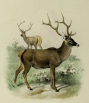 Thorold's deer, white-lipped deer (Cervus albirostris)