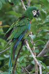 chestnut-fronted macaw, severe macaw (Ara severus)