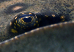 ocellate river stingray, peacock-eye stingray (Potamotrygon motoro)