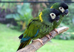 golden-collared macaw, yellow-collared macaw (Primolius auricollis)