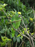 yellow-crowned amazon (Amazona ochrocephala)