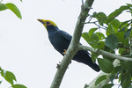 golden-crested myna (Ampeliceps coronatus)