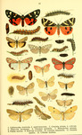 ... (Spiris striata), speckled footman (Coscinia cribraria), cinnabar moth (Tyria jacobaeae), crims