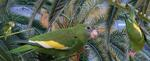 white-winged parakeet (Brotogeris versicolurus)