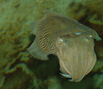 common cuttlefish (Sepia officinalis)