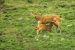 Indian hog deer (Hyelaphus porcinus)
