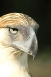 great Philippine eagle (Pithecophaga jefferyi)