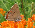 coral hairstreak (Satyrium titus)