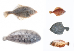 turbot (Scophthalmus maximus), common sole (Solea solea), European flounder (Platichthys flesus)...