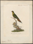 swift parrot (Lathamus discolor)