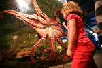 Giant Pacific octopus (Enteroctopus dofleini)