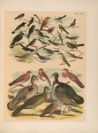... dove (Uropelia campestris), blue-headed quail-dove (Starnoenas cyanocephala), common ground dov