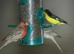 lesser goldfinch (Spinus psaltria), house finch (Haemorhous mexicanus)