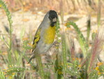 Lawrence's goldfinch (Spinus lawrencei)