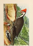 pileated woodpecker (Dryocopus pileatus), downy woodpecker (Dryobates pubescens)