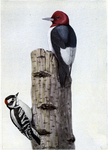 red-headed woodpecker (Melanerpes erythrocephalus), downy woodpecker (Dryobates pubescens)