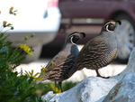 California valley quail (Callipepla californica)