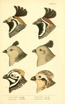 ...California valley quail (Callipepla californica), Gambel's quail (Callipepla gambelii), Montezum