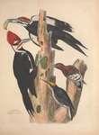 ...backed woodpecker (Picoides arcticus), red-headed woodpecker (Melanerpes erythrocephalus)